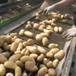 Kartoffeln aus eigenem Anbau